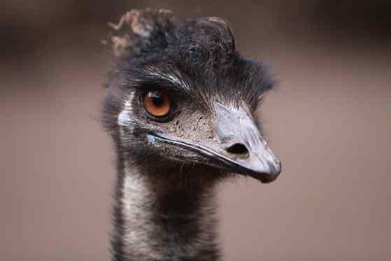 guerra-degli-emù-australia