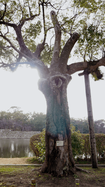 Tree that survived the atomic bomb