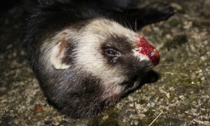 Country Diary : Polecat (Mustela putorius) recently killed by car