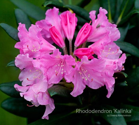 Rhododendron 'Kalinka' рододендрон калинка