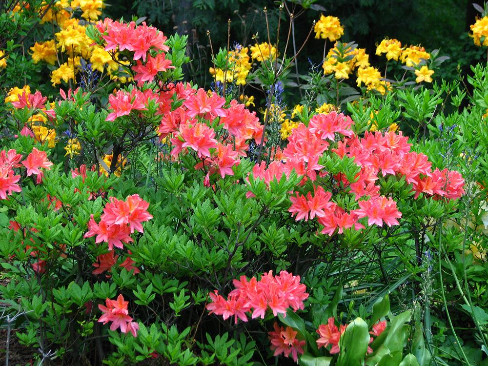 японские рододендроны