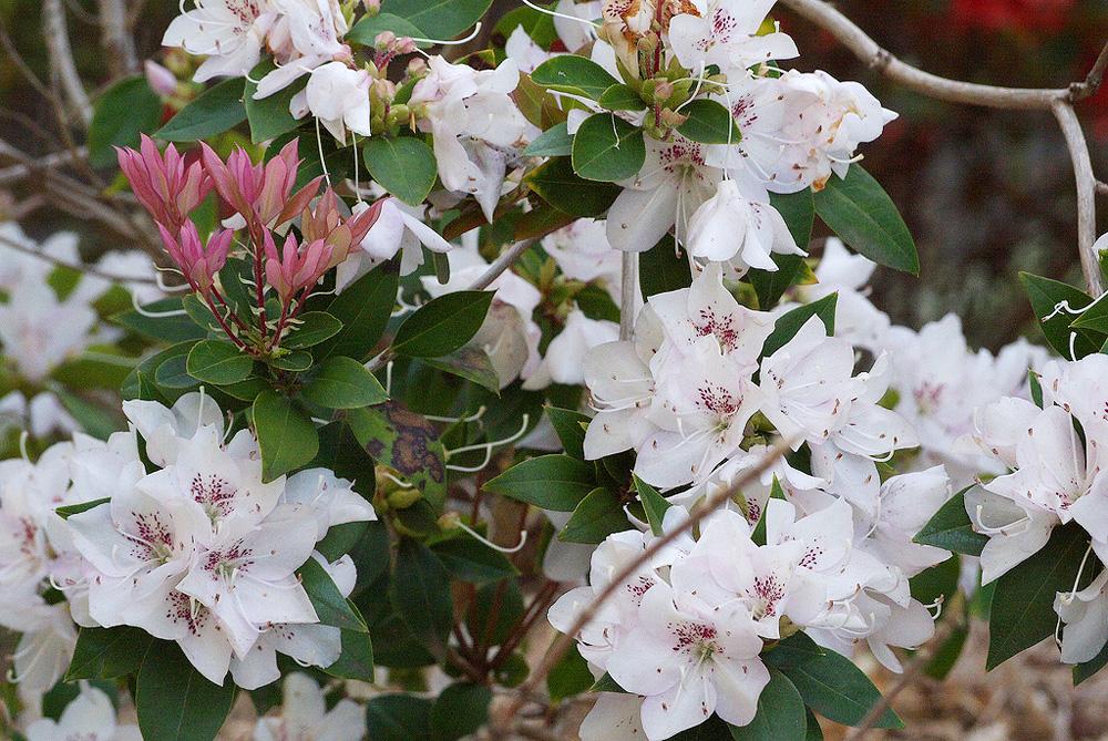 Rhododendron ovatum - рододендрон яйцелистный