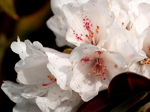 Rhododendron traillianum