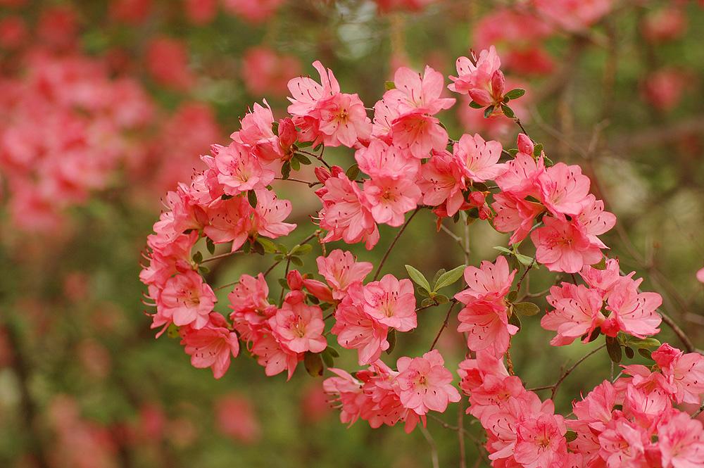 Rhododendron 'Blaauw's Pink'