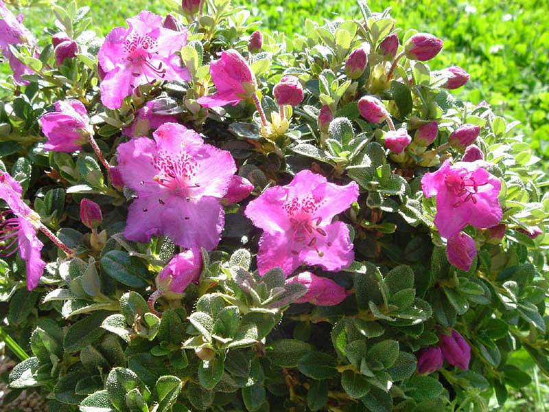 Rhododendron keleticum - рододендрон привлекательный