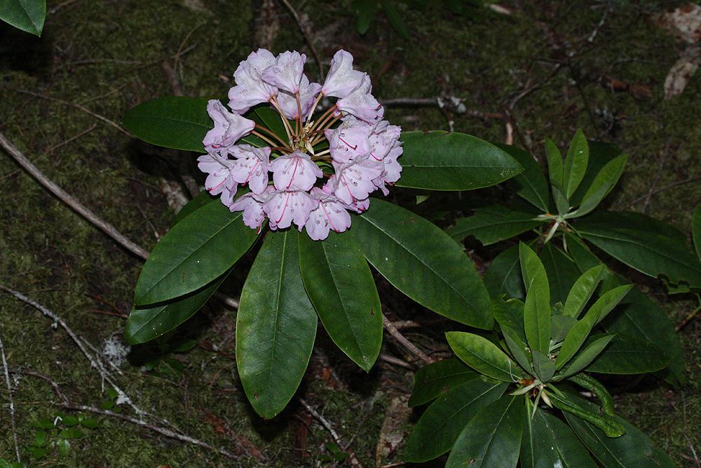 Rhododendron macrophyllum - рододендрон крупнолистный