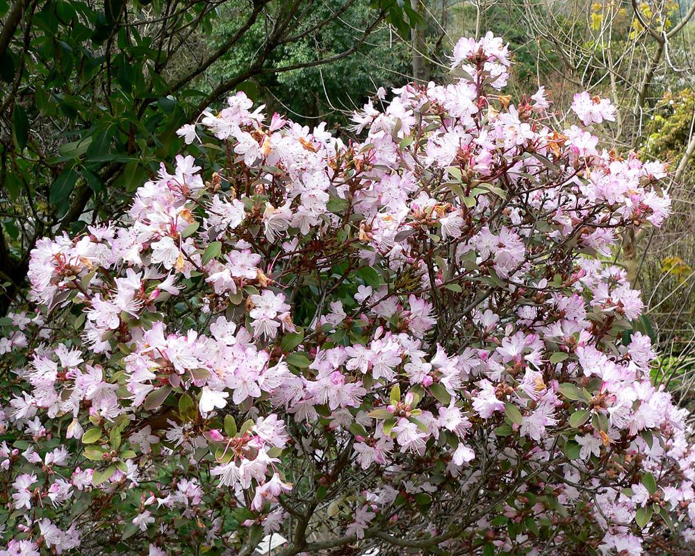Rhododendron racemosum - рододендрон кистевидный