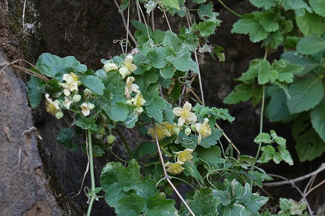 Clematis orientalis subsp. wightiana