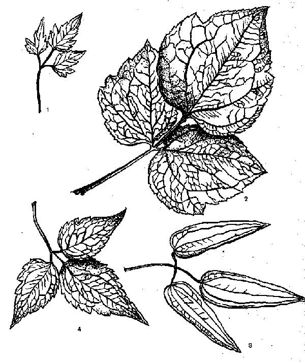сложные листья клематисов