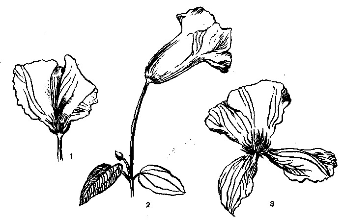 Зигоморфия цветков клематиса
