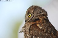 Autillo europeo (Otus scops) Murcia