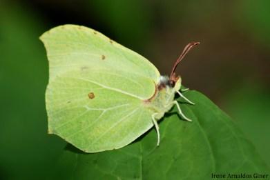Gonepteryx rhamni - Polonia