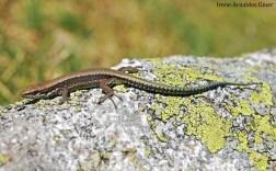 Lagartija serrana (Iberolacerta monticola) juvenil Palencia