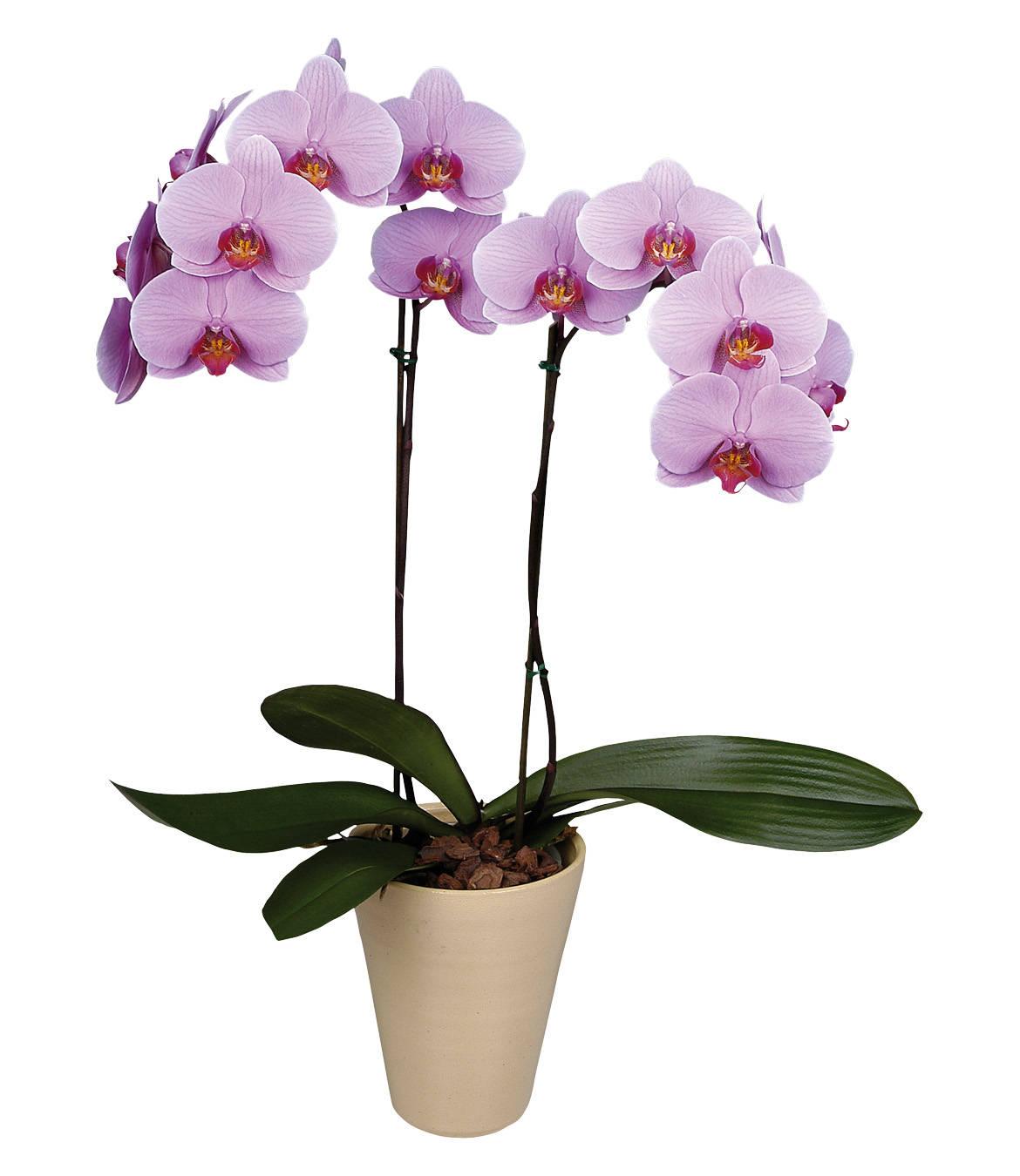 Orchidee Meravigliose Trucchi E Segreti phalaenopsis che fiore. orchidea phalaenopsis - segreti