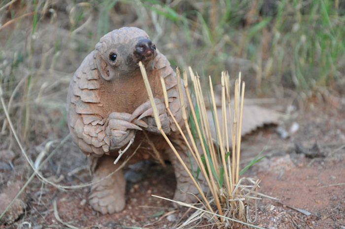 Billedresultat for Pangolin