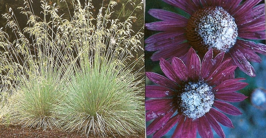 Cone Flowers and Blue Oat Grass