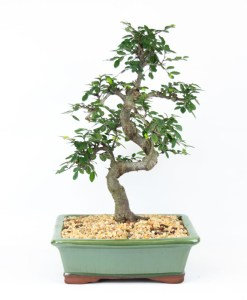 "10"" Potted Bonsai"
