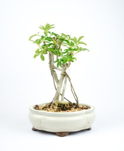 "8"" Potted Bonsai"