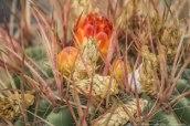 ferocactus-in-flower