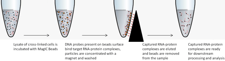 RNA Interactome MagIC Beads workflow