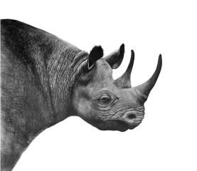 rhino-pic-2-sa