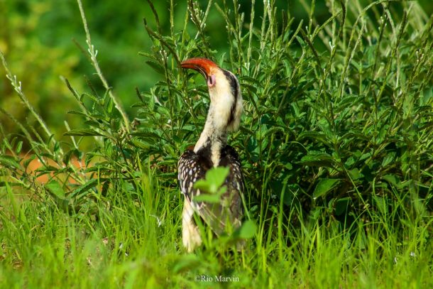 The Red-Billed Hornbill