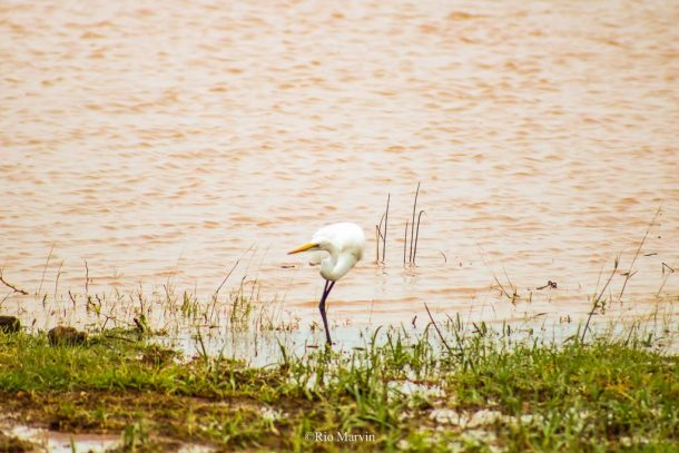 The Dancing Great Egret