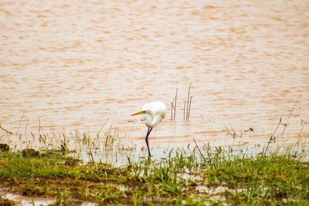 The Dancing Great Egret