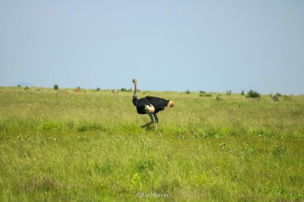 The Somali Ostrich