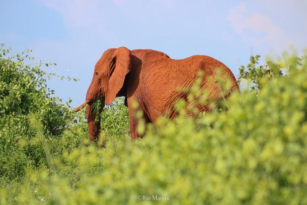 A 'red' elephant of Tsavo