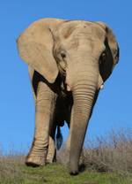 Maggie : Elephant of the Week at PAWS – Performing Animal Welfare Society : Loxodonta Africana