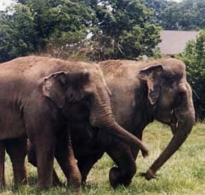 Shirley and Jenny:  Long Lost Elephant Friends