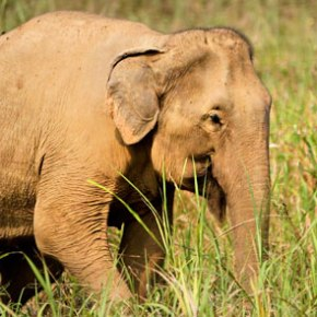 Beautiful Lotus : Elephant of the Week at Boon Lott's Elephant Sanctuary : Bwua Ngam
