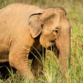 Beautiful Lotus : Elephant of the Week at Boon Lott's Elephant Sanctuary : Bwua Ngam