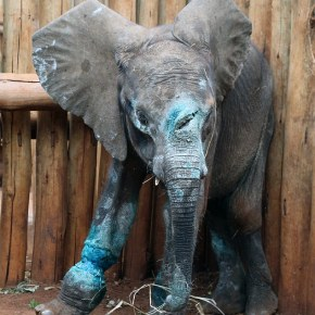 Left to Die in a Poacher's Snare, Baby Elephant is Rescued After Horrendous Suffering