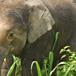 Mee Chok : Elephant of the Week at Boon Lott's Elephant Sanctuary : Blessed