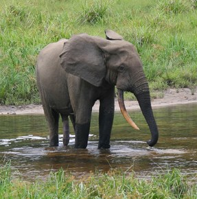 """Rare Forest Elephants' Image Captured on Tree Cams Brings New Hope For The """"Critically Endangered"""" Species' Survival in Troubled South Sudan, Africa"""