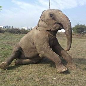 Lakhi : Elephant of the Week at Wildlife SOS India : The Elephant Conservation and Care Center