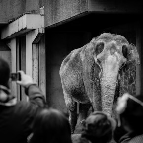 Hanako the Asian Elephant Will Not Be Crossing the Ocean in Her Escape From a Tokyo Zoo Despite Activists' & a Blogger's Most Urgent Cries : Renowned Elephant Expert Carol Buckley Deemed Her Too Old & Frail