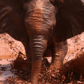 "A Day in The Life: ""Sometimes Naughty"" Always Cute Orphaned Baby Elephants Enjoy Their Mud Baths in Their Sanctuary at The David Sheldrick Wildlife Trust in Kenya, Africa: American Travel Photographer Observes"
