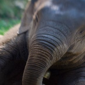 STAR : Elephant of the Week at Boon Lott's Elephant Sanctuary – BLES  : Remember Me