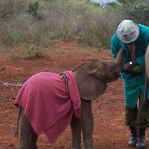 "Like Linus Van Pelt of Classic Peanuts Fame Orphaned Baby Elephants at The David Sheldrick Wildlife Trust Cherish Their ""Security Blankets"" Too"