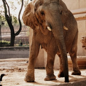 "There is Hope For Pupi & Kuki: Zoo Elephants in Argentina Soon To Be Released to Elephant Sanctuary as Buenos Aires Officials Relocating Most All of Its Captive Wildlife From ""All But Abandoned"" Palermo Zoo"