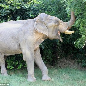 "The Rescue of Mohan the Elephant: How the ""Unluckiest Elephant in the World"" Became the Luckiest Elephant of Them All : Part 2"