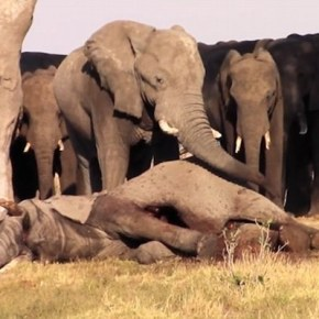 Saying Goodbye : VIDEO Shows How Elephants Do Grieve and Mourn Over Their Dead