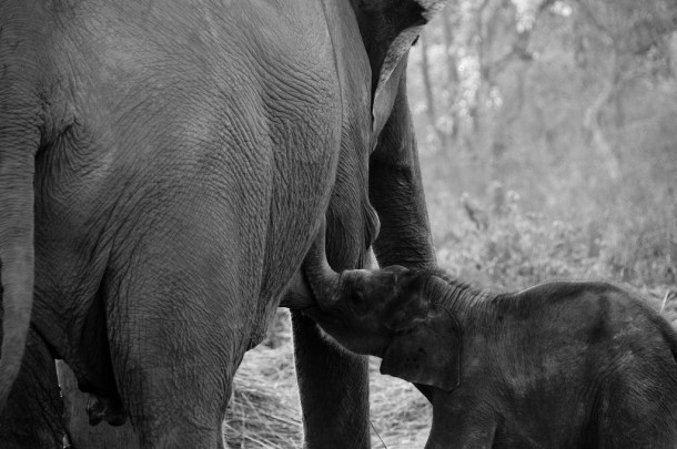elephant baby suckling by hubsche cc flicker B&W