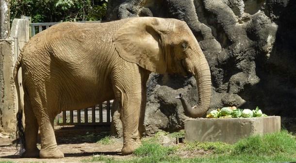 Mundi p r zoo elephant by damiandude cc flickr 17301383652_d51f51b652_c