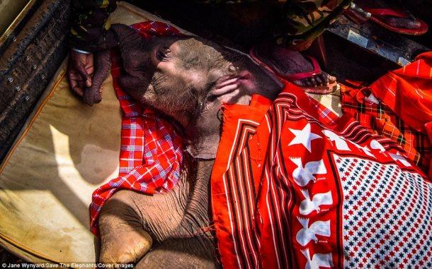 elephant Ewaso baby elephant rescue 3 Daily Mail