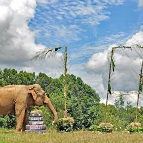 How Does an Elephant Celebrate a Milestone 70th Birthday? Shirley the Elephant Had a Grand Time on 6 July 2018 at The Elephant Sanctuary in TN Savoring a Scrumptious Treat