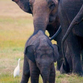 Video Moment : Watch Egrets Enjoying the Afternoon Among Playful Baby Elephants & Their Elephant Herd in Sri Lanka